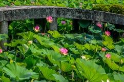 lotuses Fotografie Stock Libere da Diritti