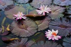 lotuses Royalty-vrije Stock Afbeelding