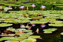Lotuses dans l'étang Photo libre de droits