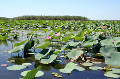 Lotuses Royalty Free Stock Photos