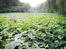 Lotuses in het meer op Tsinghua-Universiteit (in Peking) royalty-vrije stock foto
