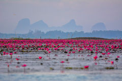Lotuses in lagoon Stock Image