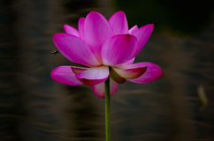 The lotuses in the lake Royalty Free Stock Image