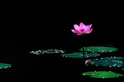 The lotuses in the lake Stock Photo
