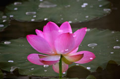 The lotuses in the lake Stock Photos