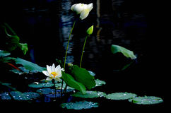 The lotuses in the lake Stock Photography