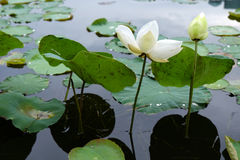 Lotuses in marsh Stock Photography