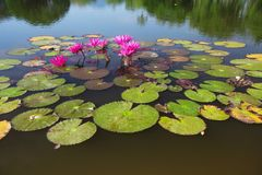 Lotuses On Water Surface Of A Pond Royalty Free Stock Photos