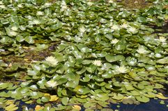 Lotuses in the pond Stock Image
