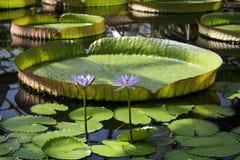 lotuses s покрывают victoria Стоковые Фотографии RF
