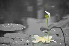 Lotuses w jeziorze Obraz Stock