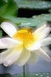 Lotuses w jeziorze Obrazy Royalty Free