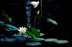 Lotuses w jeziorze Fotografia Stock