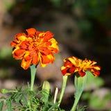 Loucura da cor e flores agradáveis Ajardine no jardim nos plenos verões, em um dayn ensolarado Imagens de Stock