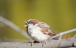 Loud cheer a little sparrow. Young male sparrow on a branch Royalty Free Stock Image
