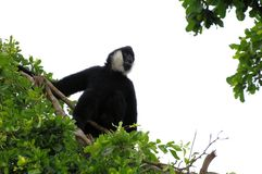 Very noisy Gibbon monkey on tree top. Loud male northern white-cheeked Gibbon monkey sitting on a tree branch in Zoo Miami, South Florida Royalty Free Stock Photos