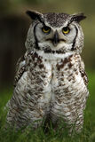 Loud Mouth. Angry Great Horned Owl against a blurred background Stock Image