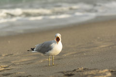 Loud Mouth seagull in Florida is angry on the Beac. This seagull was noisey!  West Palm Beach Florida Stock Photos