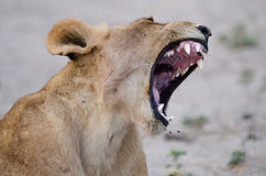 Loud Roar Royalty Free Stock Image