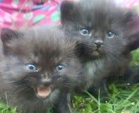 Loud sibling. Playful kitten meows at sibling Stock Image