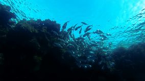 Loudmouth mackerel swarm in slow motion stock video footage