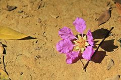 Loudoni del Lagerstroemia de la flor de Loudonii del Lagerstroemia con un fondo del cielo azul Foto de archivo