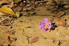 Loudoni del Lagerstroemia de la flor de Loudonii del Lagerstroemia con un fondo del cielo azul Fotografía de archivo