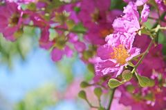 Loudoni del Lagerstroemia de la flor de Loudonii del Lagerstroemia con un fondo del cielo azul Imagen de archivo