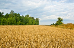 Сloudy day. Wheaten field on the fringe of the forest Royalty Free Stock Photography