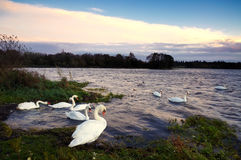 Lough Ennell Swans Royalty Free Stock Photos