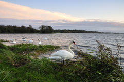 Lough Ennell Swans Stock Photography