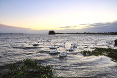 Free Lough Ennell Swans Royalty Free Stock Photos - 6989008