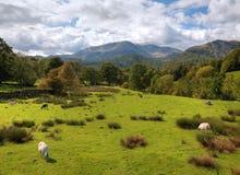 Loughrigg Fell, Cumbria. Sheep grazing on Loughrigg Fell near Grasmere, Cumbria, England Stock Photo