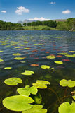 Loughrigg Tarn. Water lillies in Loughrigg tarn a typical lake district scene on a summers day with the Langdale Mountains in the Distance Stock Images
