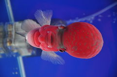 Louhan Flowerhorn cichlids Fish Stock Image