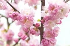 Louiseaniya kwitnie, kolorowy wiosny powietrza tło z bokeh obrazy royalty free