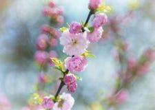 Louiseaniya kwitnie, kolorowy wiosny powietrza tło z bokeh Obraz Royalty Free