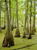 Louisiana bayou. Cypress trees in Louisiana bayou near Lafayette, Louisiana stock photo