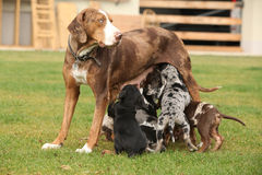 Louisiana Catahoula bitch with puppies Royalty Free Stock Photos