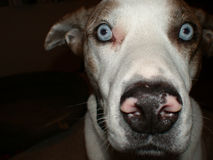 Louisiana catahoula dog Stock Photos