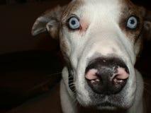 Louisiana catahoula dog. Wondering what I am doing Stock Photos