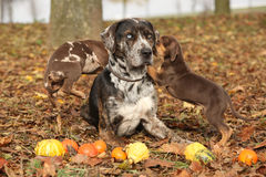 Louisiana Catahoula dog with adorable in autumn Stock Photo