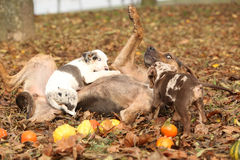 Louisiana Catahoula dog playing with puppies Royalty Free Stock Image