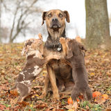 Louisiana Catahoula dog with puppies in autumn