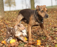 Louisiana Catahoula dog with puppies in autumn Stock Images