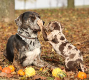 Louisiana Catahoula dog with puppy in autumn. Amazing Louisiana Catahoula dog with adorable puppy in autumn Royalty Free Stock Image