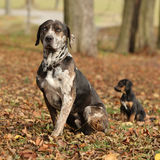 Louisiana Catahoula dog with puppy in autumn Royalty Free Stock Images