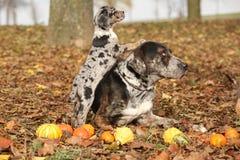 Louisiana Catahoula dog with puppy in autumn. Amazing Louisiana Catahoula dog with adorable puppy in autumn Royalty Free Stock Photos