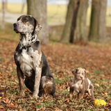 Louisiana Catahoula dog with puppy in autumn Royalty Free Stock Photography