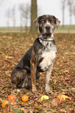 Louisiana Catahoula dog in Autumn Stock Photo